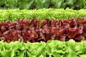Get your greens at the Farmers' Market. West Cornwall May 14 (9-12:30)